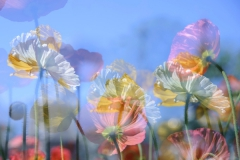 Priscilla Chapman: Floppy Poppies