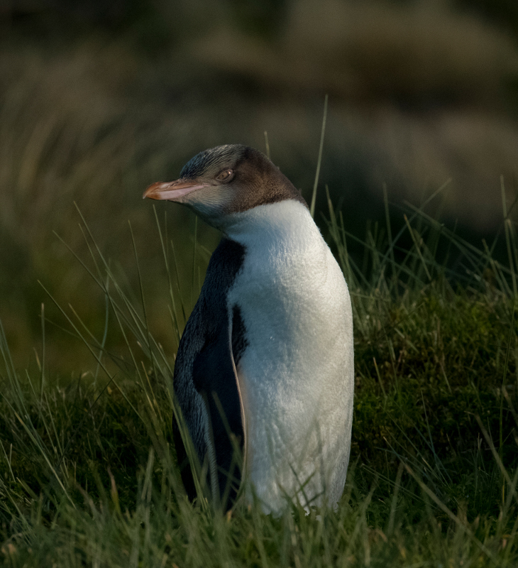 Markus Kaufmann: Penguin