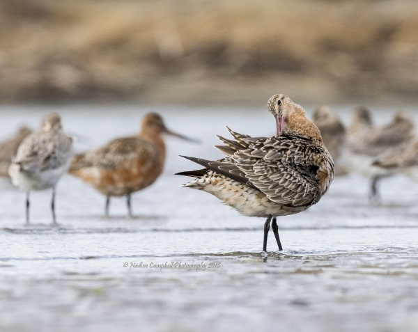 Nadine Campbell: Godwit facing behind