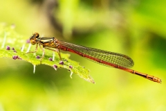 Nadine Campbell - Xanthocnemis zealandica Red Damselfly  resting on Urtica ferox