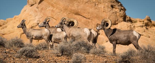 October 2017: Pol Syrett - Desert big-horn sheep