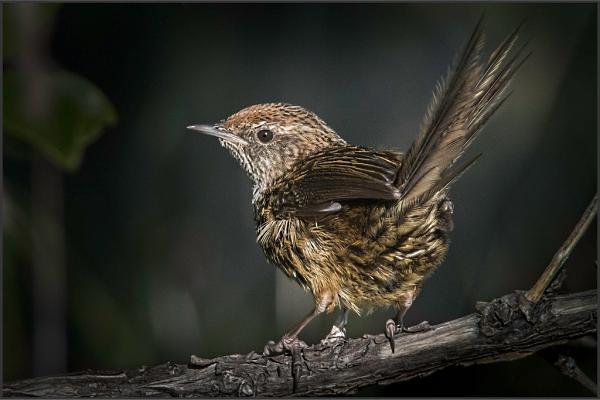 Best overall image: Geoff Beals, Fern Bird
