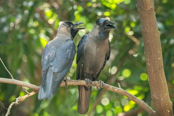 Sri Lankan House Crow pair Corvus splendens protegatus