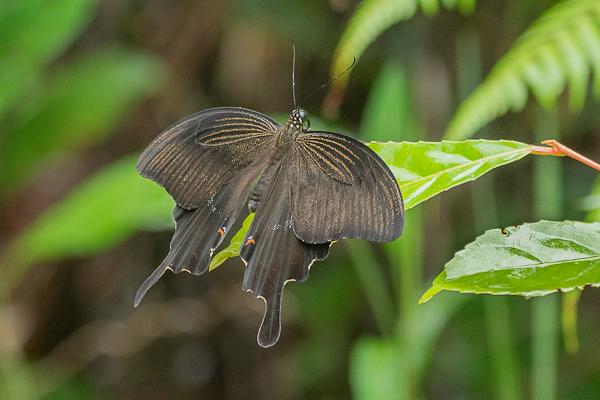 Red Helen Swallowtail Papilio helenis mooreanus