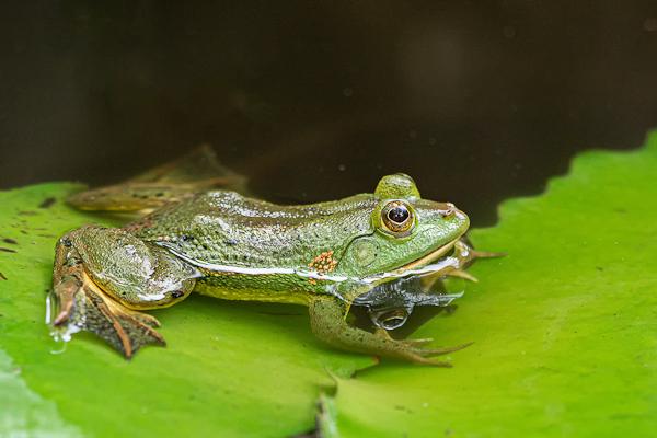 Indian green pond frog Euphlyctis hexadactylus