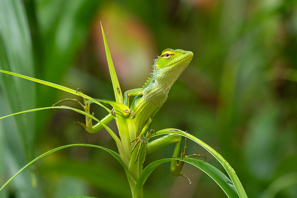 Green Forest Lizard Calotes calotes