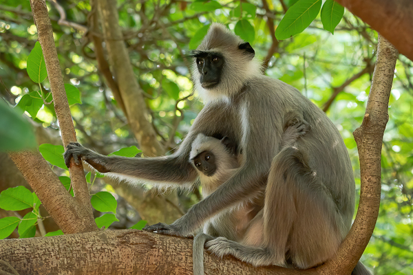 Tufted Gray Langur Monkey with infant Semnopithecus priam