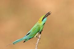 Little Green Bee eater Merops orientalis orientalis