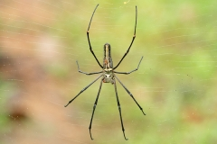 Giant golden orb web spider female with smaller male showing sexual size dimorphism Nephila pilipes