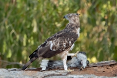 Crested Hawk Eagle with prey Nisaetus cirrhatus-ceylonensis