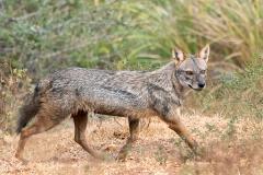 Sri Lankan Golden Jackal hunting Canis aureus naria