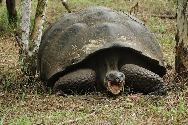 Galapagos Giant Tortoise – Chelonoidis nigra complex