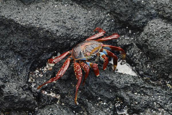 Sally Lightfoot Crab – Grapsus grapsus