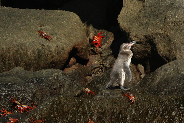 Galapagos Penguin – Spheniscus mendiculus