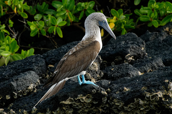 Blue-footed Boobies – Suia nebouxii