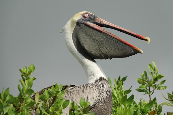 Galapagos Brown Pelican  – Pelecanus occidentalis urinator