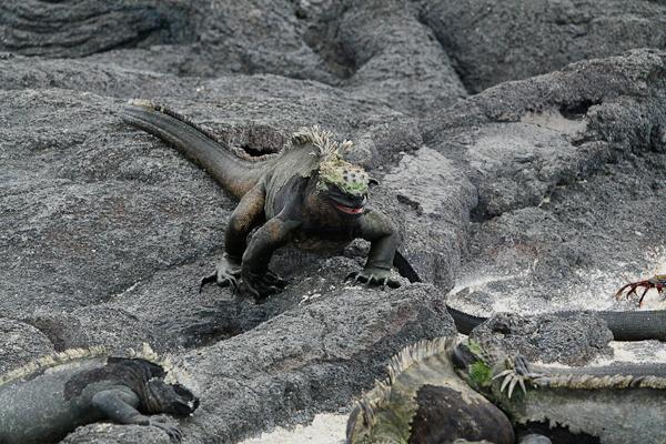 Galapagos Marine Iguanas – Amblyrhynchus cristatus