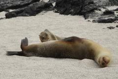 Galapagos Fur Seals – Arctocephalus galapagoensis