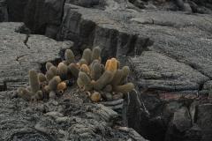 Galapagos Lava Cactus – Brachycereus nesioticus