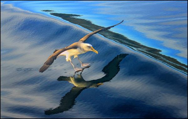 Yvonne Marshall: Buller's Albatross