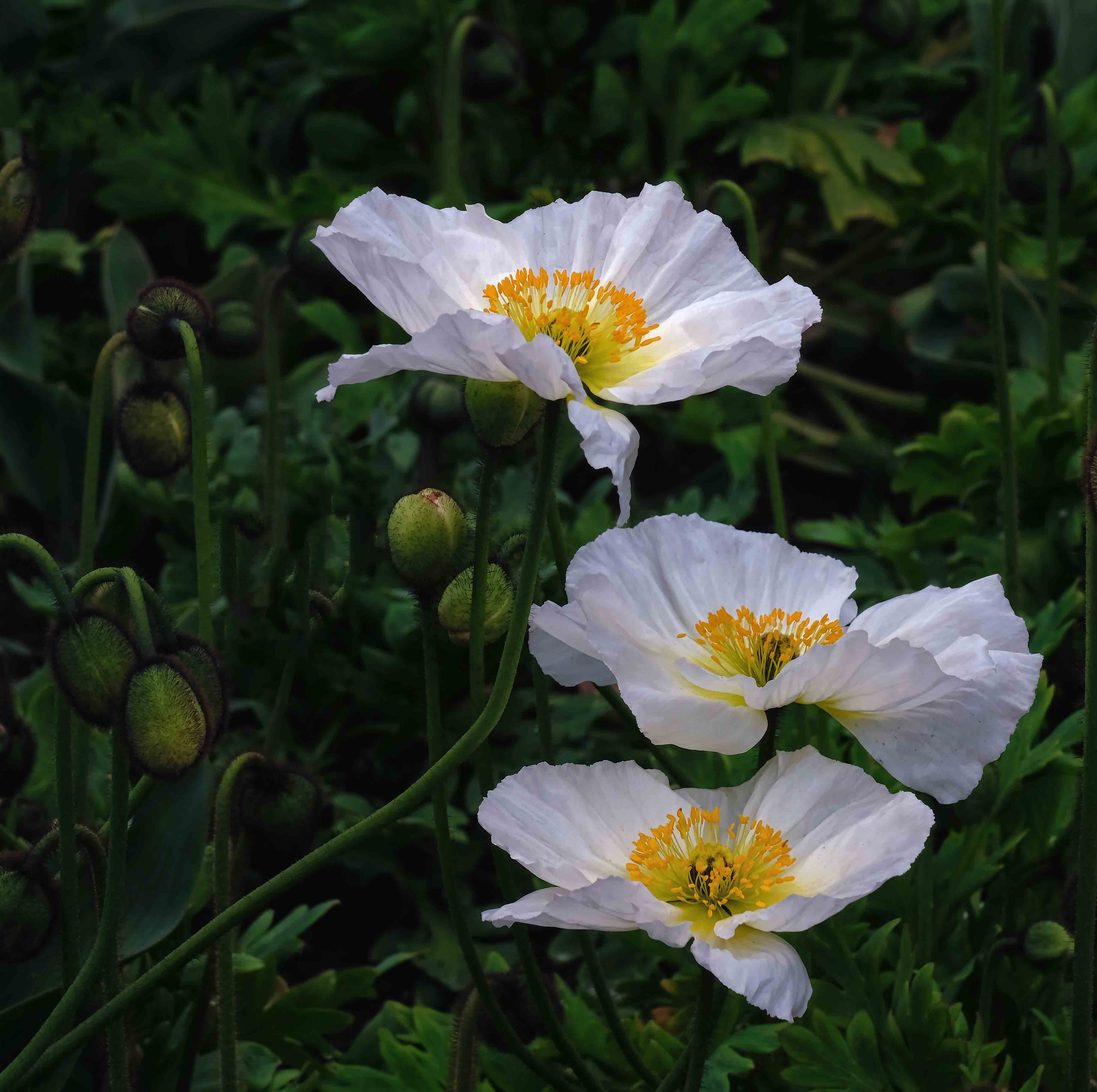 Maureen Pierre: White Poppies