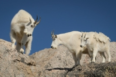 Pol Syrett: Mountain goats
