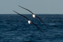 Ross Kennedy: White Capped Albatross