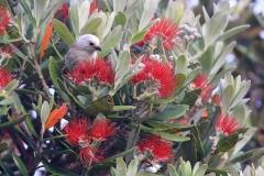 Kath Varcoe: Whitehead in Pohutakawa