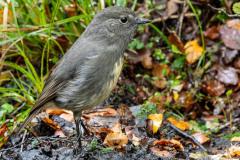 South Island Robin.  Petrocia australis.  Lake Daniels