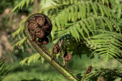 Mamaku.  Cyathea medullaris.  Fox River, West Coast.