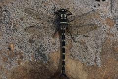 Dragonfly Uropetala chiltoni Otira Valley
