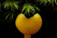 Orange fungi Hygrocybe sp.