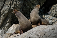 NZ fur seals at Kaikoura Arctocephalus forsteri