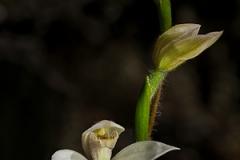 Orchid Caladenia alpina