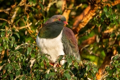 Kereru Hemiphaga novaeseelandiae at dawn