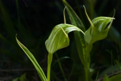 Greenhooded Orchid Pterostylis patens