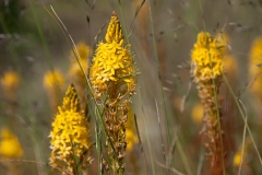 Maori Onion Bulbinella sp