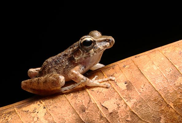 Stejnegers Litter Frog
