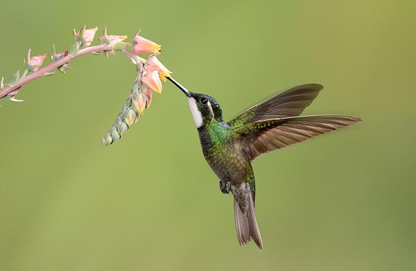 White-throated mountain gem hummingbird