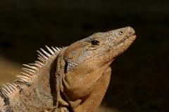 Head-study, Lizard