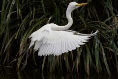 Fully Fledged chick in flight