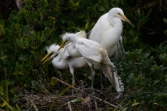 White Heron with 2 nearly fully fledged chicks
