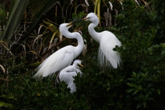 White Heron adults with growing chick