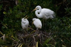 White Heron with growing chicks 1 begging