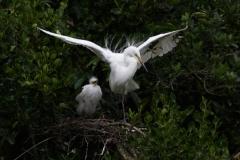 White Heron shields growing chick