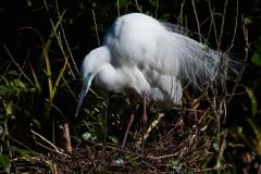 White heron on nest with egg