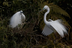 White Heron gathers nest material