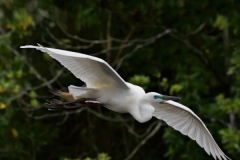 Adult White Heron in breeding color flies in