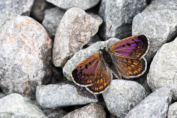 6 Boulder Copper Butterfly, Mesopotamia