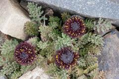 5-Leptinella-atrata-Mt-Hutt